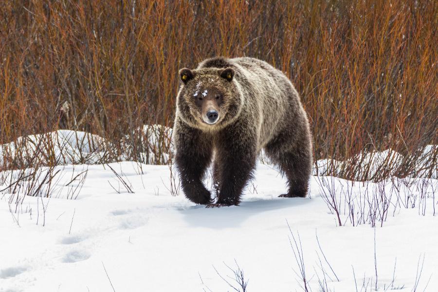 GTNP-bear-in-snow900x600