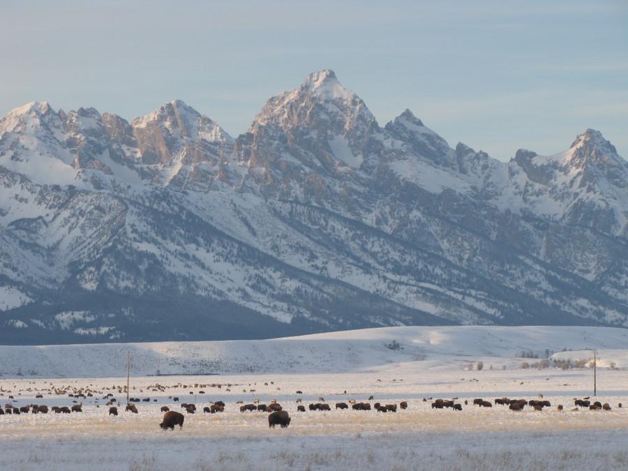 Teton bison900x675